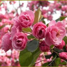 Яблоня декоративная Бренди Мейджик