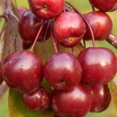 Яблоня декоративная Кокцинелла