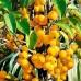 Яблоня декоративная Еллоу Сибериан