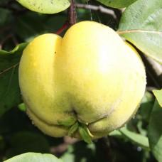 Айва обыкновенная Константинопольская яблочная