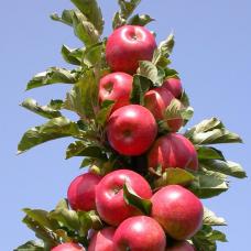 Яблоня колонновидная Конференция
