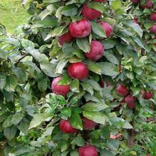Яблоня колонновидная Московское ожерелье (Х-2)
