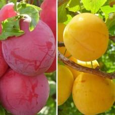 Дерево-Сад слива Конфетная, Желтая Самоплодная