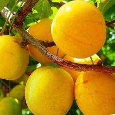Слива Зареченская желтая
