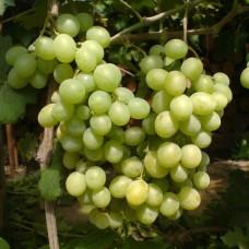 Виноград винный Пино Блан