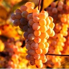 Виноград Русский янтарь