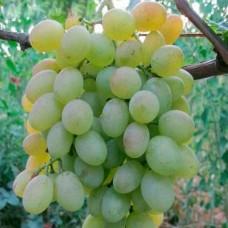 Виноград Юбилей Платонова