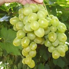 Виноград Гарольд