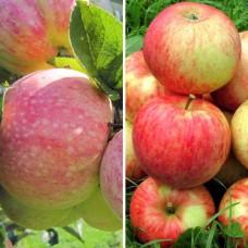 Дерево-Сад яблоня Конфетное, Орлинка