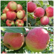 Дерево-Сад яблоня Мельба, Конфетное, Орлинка