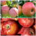 Дерево-Сад яблоня Апорт, Медуница, Конфетное