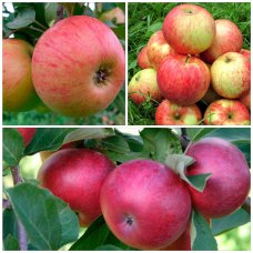 Дерево-Сад яблоня Лобо, Медуница, Орлинка