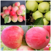 Дерево-Сад яблоня Мельба, Грушевка, Белый налив