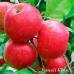 Дерево-Сад яблоня Хоней Крисп, Лобо