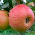 Дерево-Сад яблоня Белый Налив, Медуница, Орловим