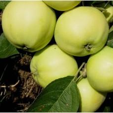 Яблоня Налив Белый (Папировка)