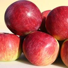 Яблоня Орловское полесье