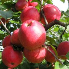 Яблоня Пепин шафранный