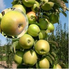 Яблоня колонновидная Янтарное ожерелье