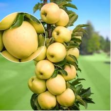 Яблоня колонновидная Золотой початок