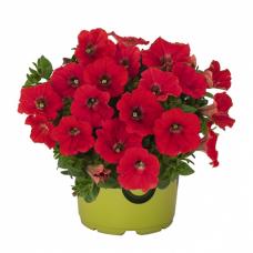 Петуния Potunia Piccola Red