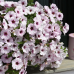 Петуния Surprise White Orchid