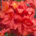 Азалия листопадная Фейерверк