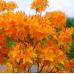 Азалия листопадная Голден Лайтс
