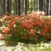 Азалия листопадная Клондайк