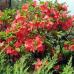 Азалия листопадная Сарина