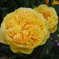 Роза шраб 100 Идей Сада