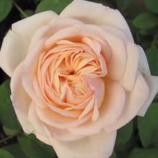 Роза чайно-гибридная Александрин = Бель Романтика