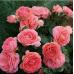 Роза шраб Амелия Ренессанс