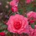 Роза флорибунда Бад Бирнбах-Риго