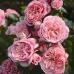 Роза флорибунда Байландо
