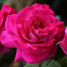 Роза чайно-гибридная Барон Эдмон де Ротшильд
