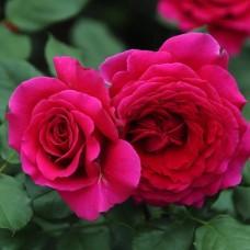 Роза чайно-гибридная Бельвью