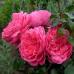 Роза флорибунда Берлебург Нейшнл Паркс