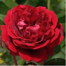 Роза шраб Каприция Ренессанс