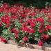 Роза канадская Чамплейн