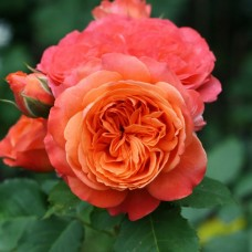Роза шраб Эмильен Гийо