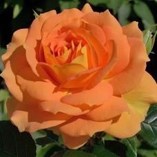 Роза флорибунда Голдэльзе