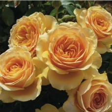 Роза флорибунда Генриетта Барнет