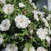 Роза канадская Хенри Хадсон