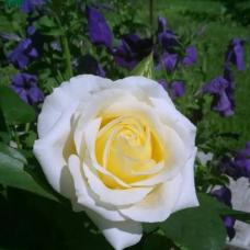 Роза канадская Джей Пи Коннелл