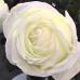 Роза чайно-гибридная Жанна Моро