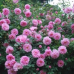 Роза канадская Джон Девис