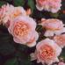 Роза английская Джульетта