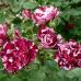 Роза чайно-гибридная Хулио Иглесиас