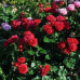 Роза флорибунда Кронборг